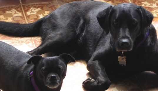 Black Labrador Retriever Pug Mix